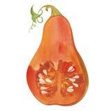 Watercolor pumpkin section Stock Photo
