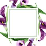 Watercolor purple callas flower. Floral botanical flower. Frame border ornament square. Aquarelle wildflower for background, texture, wrapper pattern, frame or vector illustration