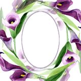 Watercolor purple callas flower. Floral botanical flower. Frame border ornament square. Aquarelle wildflower for background, texture, wrapper pattern, frame or royalty free illustration