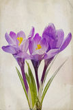 Watercolor purple crocus Stock Photos