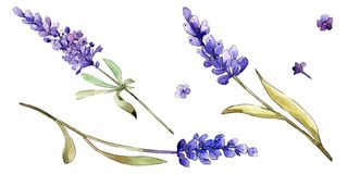 Watercolor purple lavender flowers. Floral botanical flower. Isolated illustration element. vector illustration