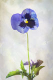 Watercolor purple pansy Stock Photo