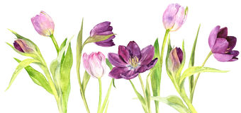 Watercolor purple and pink tulips Stock Images