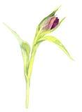 Watercolor purple tulip Stock Photo