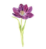Watercolor purple tulip Royalty Free Stock Photography