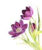 Watercolor purple tulips Stock Photography