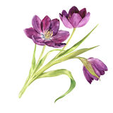 Watercolor purple tulips Royalty Free Stock Photography