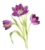 Watercolor purple tulips Royalty Free Stock Images