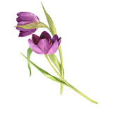 Watercolor purple tulips Stock Photo