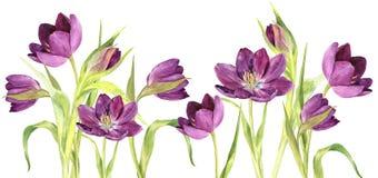Watercolor purple tulips Stock Photos