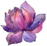 Watercolor purplel lotus flower. Floral botanical flower. Isolated illustration element. Watercolor purple lotus flower. Floral botanical flower. Isolated royalty free stock photos