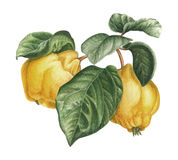Watercolor quince Royalty Free Stock Photography
