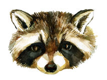 Watercolor raccoon Royalty Free Stock Photo