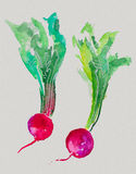 Watercolor radish Stock Image