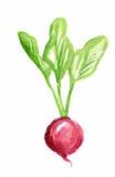 watercolor radish. Stock Photography