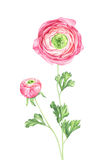 Watercolor ranunculus on white background. Ranunculus on white background. Hand drawn watercolor illustration Stock Images