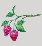 Watercolor raspberries Stock Photography