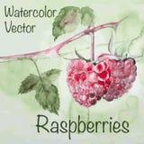 Watercolor raspberry Stock Photo