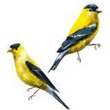 Watercolor raster american siskin bird Stock Image