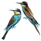 Watercolor raster european bee-eater bird Royalty Free Stock Images