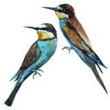 Watercolor raster european bee-eater bird Royalty Free Stock Images