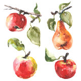 Watercolor raster illustration of apples and pears. Stock Photography