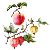 Watercolor raster illustration of apricot and gooseberry. Royalty Free Stock Photo