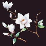 Watercolor raster magnolia flowers. Beautiful raster image with nice watercolor magnolia flowers Stock Photos