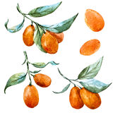 Watercolor raster tangerine Royalty Free Stock Photo
