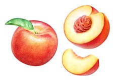 Watercolor realistic botanical illustration of the peach fruits Royalty Free Stock Images