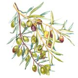 Watercolor realistic illustration of black and green olives branch isolated on white background. Design for olive oil Stock Image