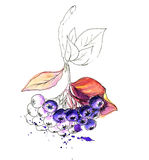 Watercolor realistic painting. Aronia berries Royalty Free Stock Image