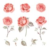 Watercolor red beautiful and delicate roses set. Hand drawn watercolor roses isolated on white background. Great start for wedding cards vector illustration