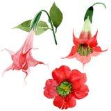 Watercolor red brugmansia flower. Floral botanical flower. Isolated illustration element. Aquarelle wildflower for background, texture, wrapper pattern, frame vector illustration