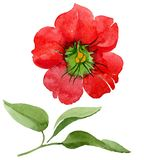 Watercolor red brugmansia flower. Floral botanical flower. Isolated illustration element. Aquarelle wildflower for background, texture, wrapper pattern, frame royalty free stock photography