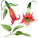Watercolor red brugmansia flower. Floral botanical flower. Isolated illustration element. Aquarelle wildflower for background, texture, wrapper pattern, frame royalty free illustration