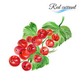 Watercolor red currant Stock Image