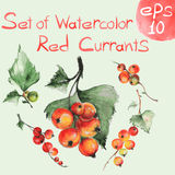Watercolor red currants Stock Image