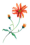 Watercolor red daisies branch with leaves. Royalty Free Stock Image