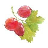 Watercolor red gooseberry Stock Photos
