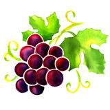 Watercolor red grape isolated on white Stock Photo