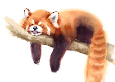 Watercolor Red Panda Sleeping on the Branch Hand Drawn Animal Illustration isolated on white background. Hand painted Watercolor illustration of Red Panda Stock Image