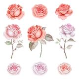 Watercolor red and pink roses set. Hand drawn watercolor roses isolated on white background. Great start for wedding cards royalty free illustration