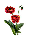 Watercolor red poppies. Isolated on white background Stock Photo