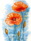 Watercolor red poppy flowers. Stock Images