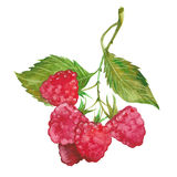 Watercolor red raspberry Stock Photo