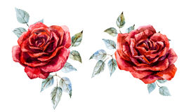 Watercolor red rose Stock Photos