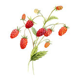 Watercolor red strawberry Royalty Free Stock Image