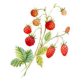Watercolor red strawberry Stock Photo
