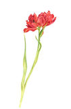 Watercolor red tulip Royalty Free Stock Photography